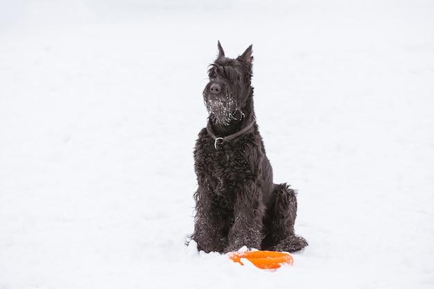 Cão riesenschnauzer em preto sobre fundo branco
