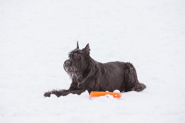 Cão riesenschnauzer macho adulto