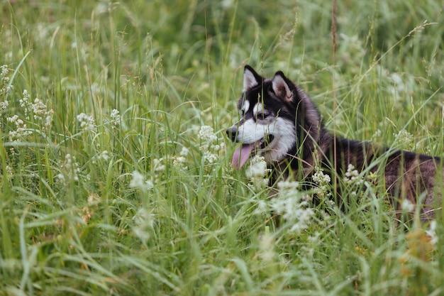 Cão ronco em um prado na grama verde luxúria que olha na distância com sua língua que cola para fora.