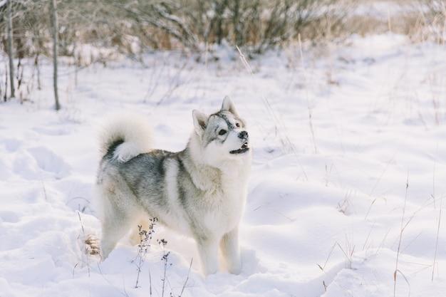 Cão ronco no campo nevado na floresta de inverno. cão de pedigree brincalhão