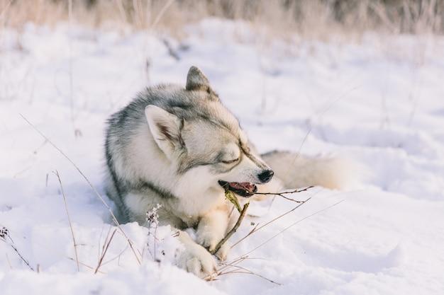Cão ronco no campo nevado na floresta de inverno. cão de pedigree deitado na neve