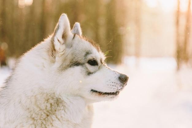 Cão ronco no campo nevado na floresta de inverno. cão de raça em um pôr do sol