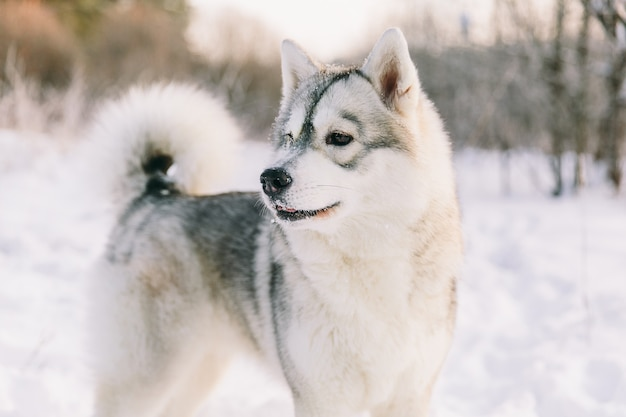 Cão ronco no campo nevado na floresta de inverno. cão pedigree