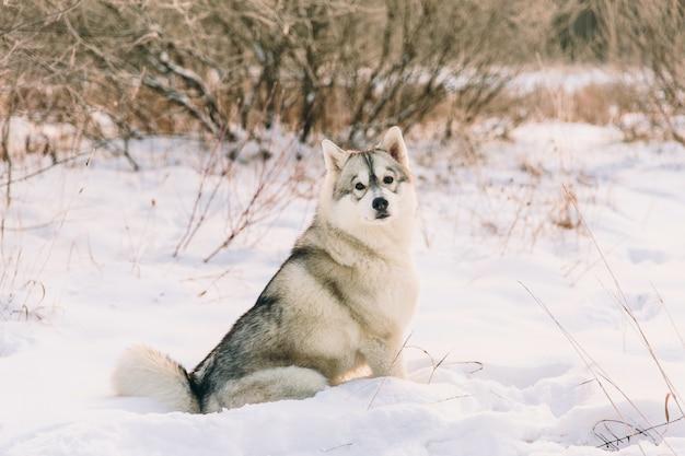 Cão ronco no campo nevado na floresta de inverno. sittign de cão de pedigree na neve