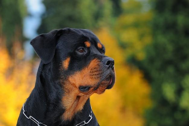 Cão rottweiler de raça pura