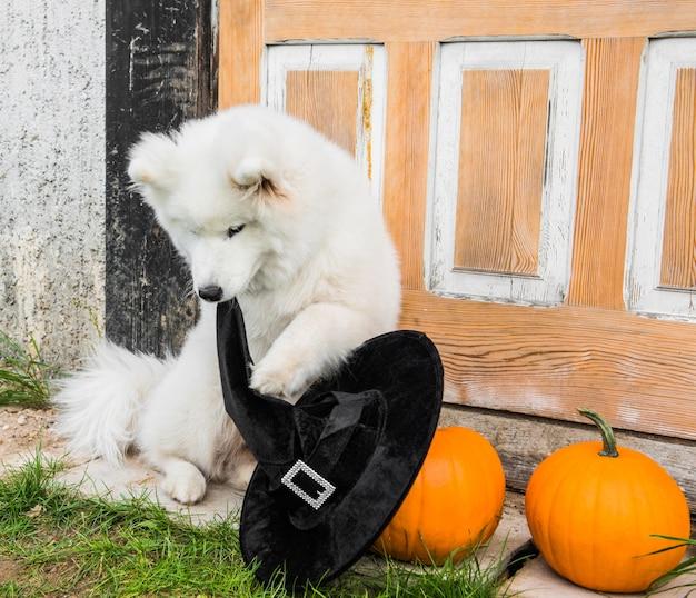 Cão samoiedo branco com abóboras de halloween e chapéu de bruxa. cachorro está sentado na varanda da casa com as portas vintage fechadas.