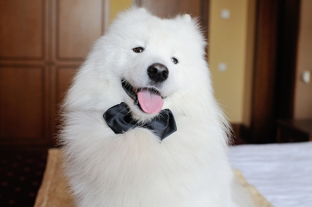 Cão samoiedo branco em gravata preta