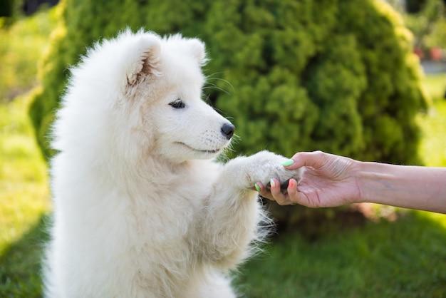 Cão samoiedo feliz dando pata ao proprietário