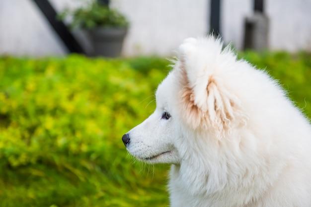 Cão samoiedo feliz olhando para seu dono