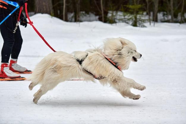 Cão samoyed em corridas de trenó. competição de equipes de trenó de esporte de cachorro de inverno