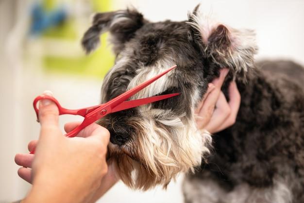 Cão schnauzer, close-up, cortando o cabelo com uma tesoura no salão de beleza.