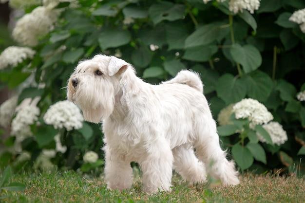 Cão schnauzer miniatura branco deslumbrante ao ar livre
