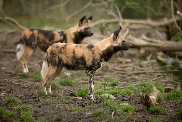 Cão selvagem africano pronto para caçar uma presa