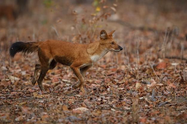 Cão selvagem indiano posa no habitat natural