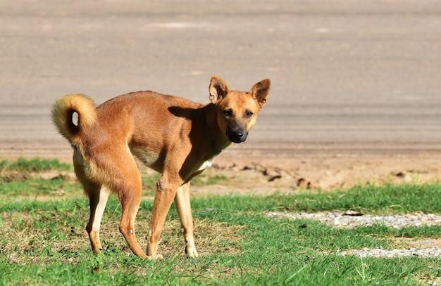 Cão sem-teto após excretar na grama verde ao lado da estrada rural na manhã