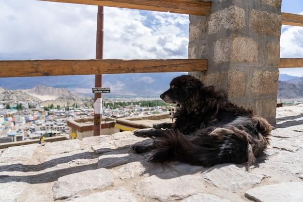 Cão sem-teto em leh ladakh, norte da índia