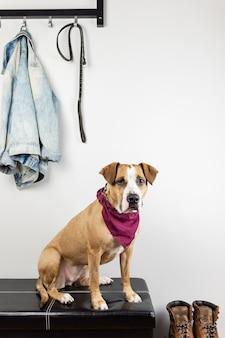 Cão sentado e esperando uma caminhada no hall de entrada. filhote de staffordshire terrier em um corredor de casa ou apartamento se preparando para sair
