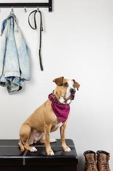 Cão sentado e esperando uma caminhada no hall de entrada. staffordshire terrier cachorrinho em um corredor de casa ou apartamento se preparando para sair