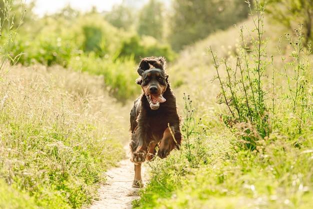 Cão setter gordon correndo na natureza