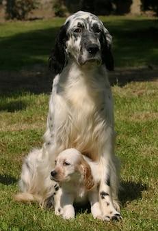 Cão setter inglês com cachorrinho
