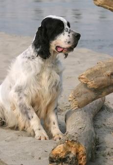 Cão setter inglês