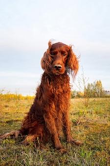 Cão setter irlandês cauteloso pensativo no prado durante o pôr do sol cão setter irlandês cauteloso pensativo no prado durante o pôr do sol