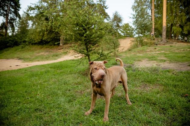 Cão sharpei bege com olhos inteligentes. close-up cãozinho lá fora. cachorro grande. espaço da cópia