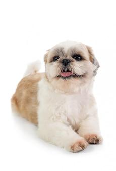 Cão shih tzu bonito com a língua de fora, sentado no chão