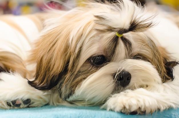 Cão shih-tzu chato close-up