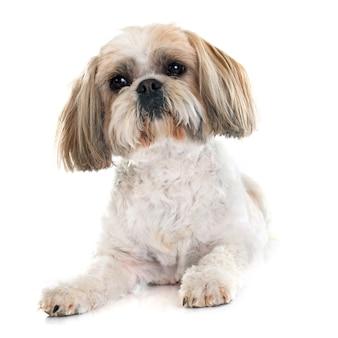 Cão shih tzu