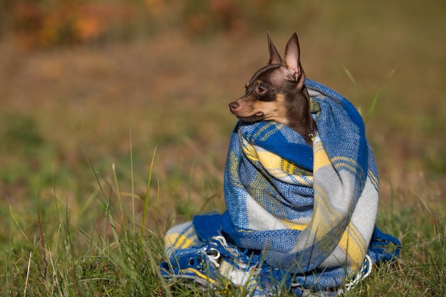 Cão sob uma manta. pet aquece debaixo de um cobertor