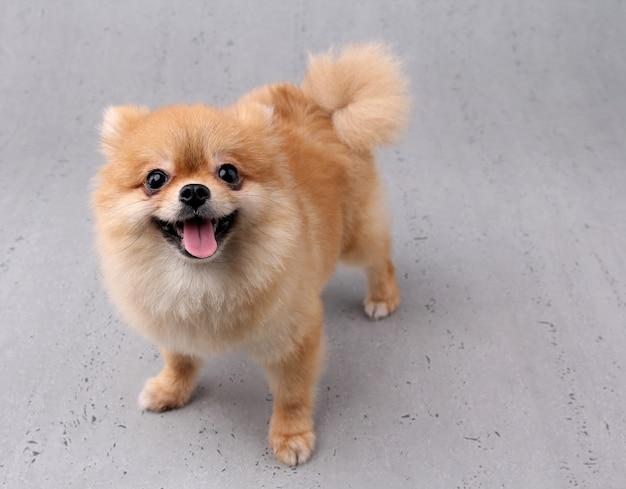 Cão sorridente com pano de fundo branco.