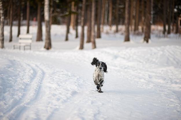 Cão spaniel engraçado corre ao longo de uma estrada florestal coberta de neve