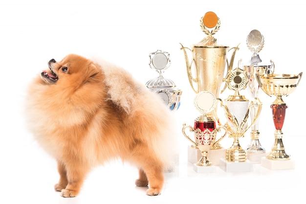 Cão spitz da pomerânia com copos de vencedor