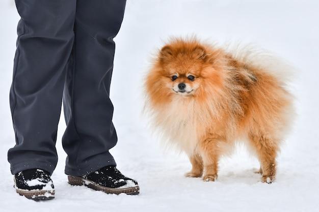 Cão spitz da pomerânia na neve