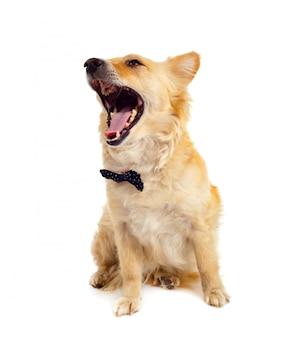 Cão spitz em fundo branco