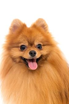 Cão spitz fofo