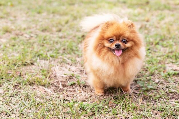 Cão spitz pomeranian
