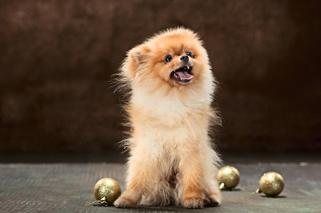 Cão spitz posando com bolas de natal