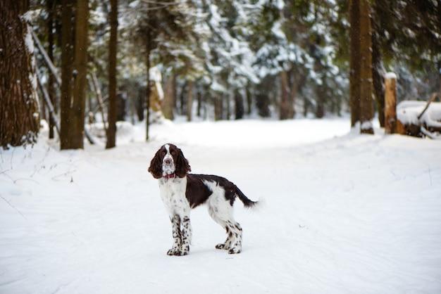 Cão springer spaniel inglês na natureza de inverno