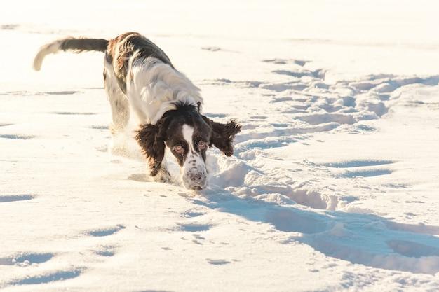 Cão springer spaniel olha para a câmera e corre no campo de neve na natureza do inverno