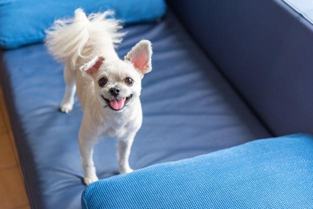 Cão tão bonito em pé no sofá olhando alguma coisa