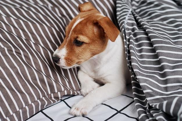 Cão terrier jack russell debaixo do cobertor na cama