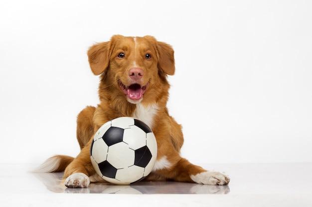 Cão toller ativo com bola