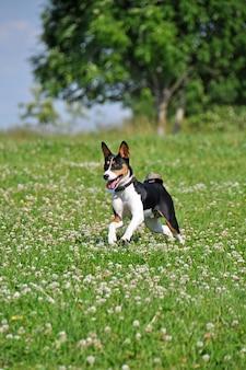 Cão tricolor basenji correndo no campo de flores