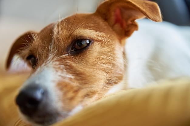 Cão triste e cansado na cama a dormir jack russell terrier