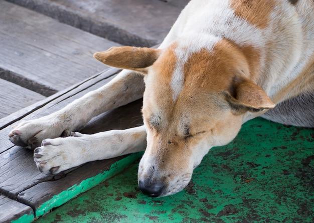 Cão vadio bonito dormir no templo