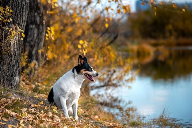 Cão vira-lata caminha no parque outono em um lenço.