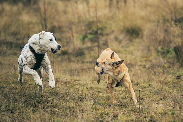 Cão vira-lata vermelho late para cão-pastor da ásia central