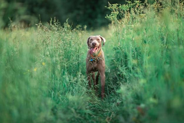 Cão weimaraner fofo correndo na grama alta